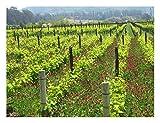 Melville Vineyard Pinot Noir Vines, Lompoc, CA, Santa Barbara County Wall Art by Janet Penn Design (16