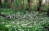 Ramsons, Allium ursinum (30 Seeds) Buckrams,Wild garlic,Broad-leaved Garlic !