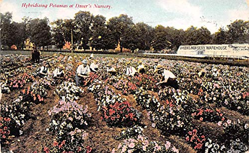 (Advertising Post Card Hybridizing Petunias, Dreer's Nursery Philadelphia, PA USA 1909 )