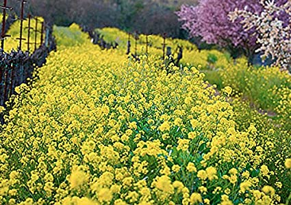 Amazon yellow mustard 12 500 seeds wonderful field flower yellow mustard 12500 seeds wonderful field flower vineyards nitrogen fixing cover crop mightylinksfo