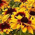 Everwilde Farms - Gloriosa Daisy Native Wildflower Seeds - Gold Vault