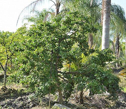 PlantVine Guaiacum Sanctum, Lignum Vitae - Large, Tree - 8-10 Inch Pot (3 Gallon), Live - Tree Vitae Lignum