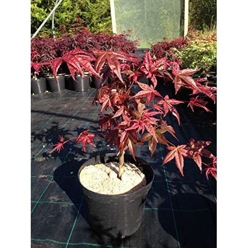 Outlet Seasonal Color Japanese Maple Aka Acer Palmatum Shin Deshojo