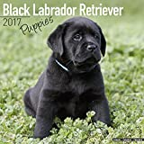 Lab Puppies Calendar - Black Labrador Retriever - Dog Breed Calendars - 2016 - 2017 wall calendars - 16 Month Calendar by Avonside