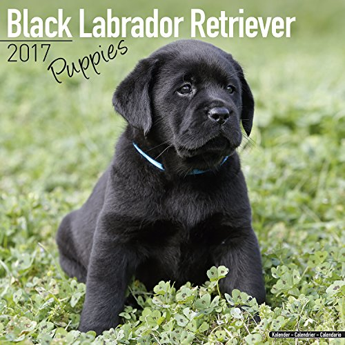 Lab Puppies Calendar - Black Labrador Retriever - Dog Breed Calendars - 2016 - 2017 wall calendars - 16 Month Calendar by Avonside - Lab Puppies Calendar
