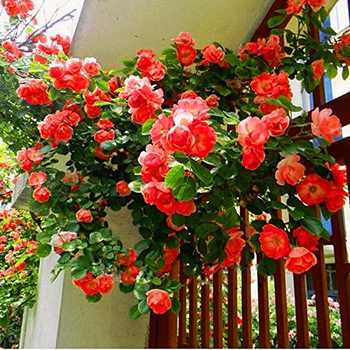 Caiuet Seed house - 100 pcs Climbing Roses Seeds Garden Clematis Hardy Perennial Colorful Flower Seeds Climbing Plants for Gardens, Walls, Fences, Rose Arches ()