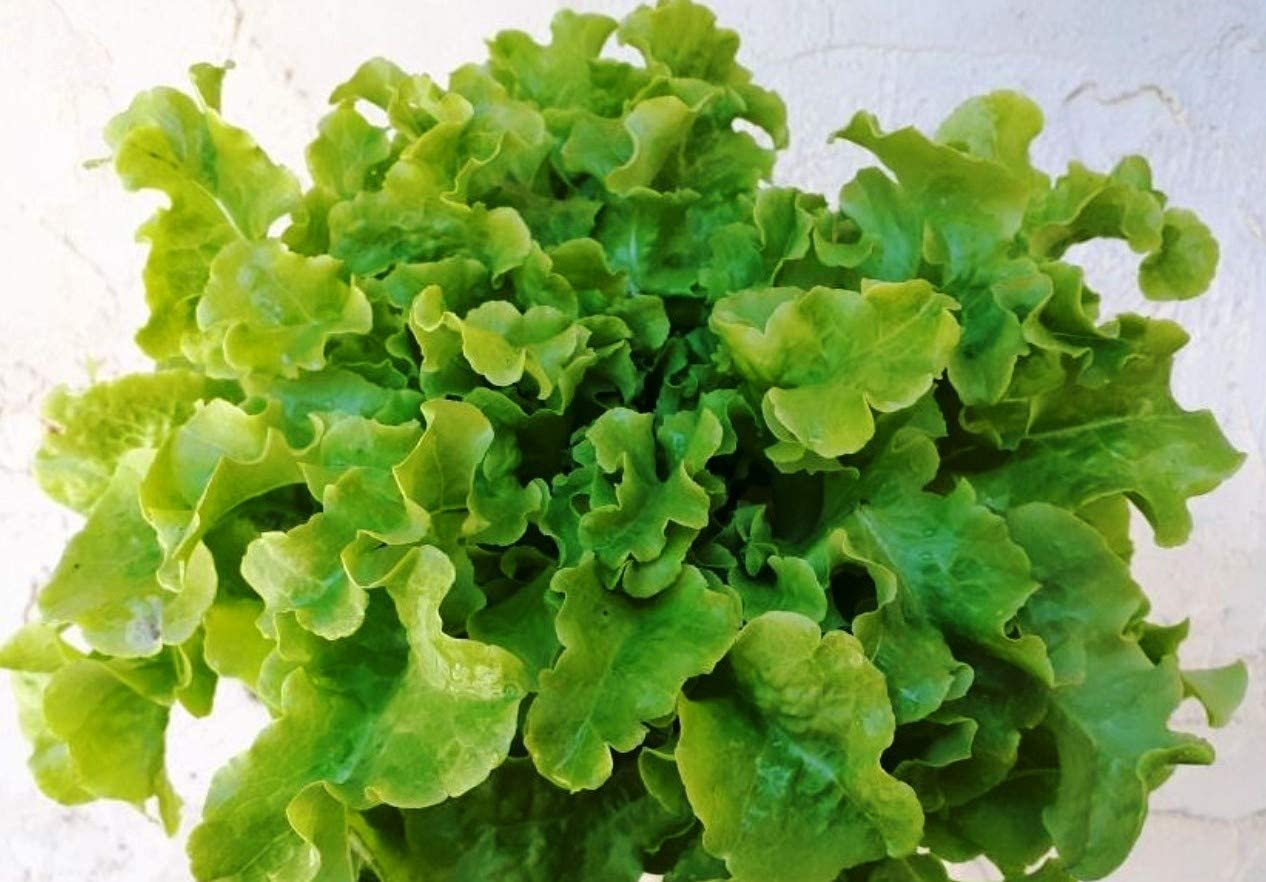 Non-GMO Green Salad Bowl Variety Non-Hybrid Packet 300 Seeds Suited for Canadian Climate Organic Leaf Lettuce Vegetable Seeds