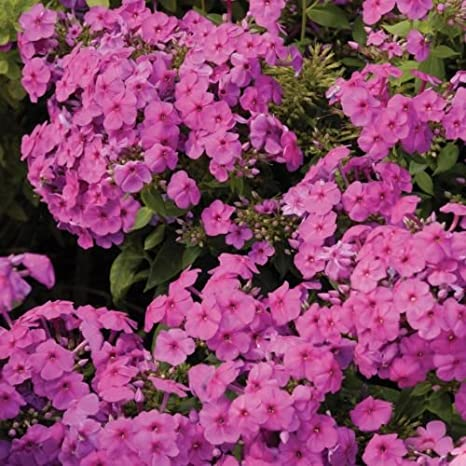 phlox flame pink disease resistant tall fragrant 25 pot 1 live potted plant - Tall Garden Phlox