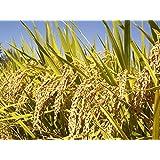 100 BROWN JASMINE RICE Fragrant Long Grain Thai Oryza Sativa Vegetable Seeds *Flat Shipping