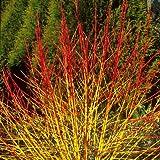 Dogwood - Cornus Sanguinea - 1 Pkt of 25 seeds - Ornamental Shrub - Berries
