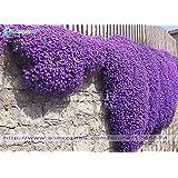 Semi di fiori 100 Aubrieta Seeds - Semi di Cascade Fiore viola, tappezzanti perenni superba, semi di fiori per il giardino di casa