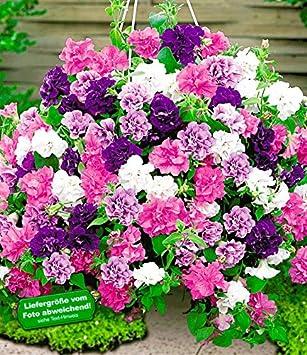 Baldur Garten Hange Petunien Viva Prachtmix 12 Pflanzen Petunia