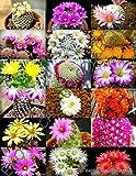 100 Seeds Color MAMMILLARIA Mix, Exotic Cacti Rare Cactus Plant Seed
