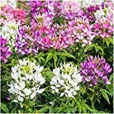 Package of 1,500 Seeds, Cleome Mixture (Cleome hassleriana) Non-GMO Seeds by Seed Needs