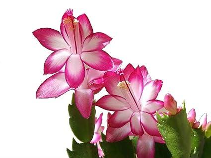 Christmas Cactus Plant.Amazon Com Pink Christmas Cactus Plant Zygocactus 4 Pot