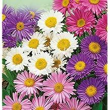 Aster Seeds Alpine Mix (Callistephus chinensis) Beautiful Perennial Flowers