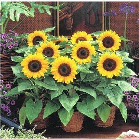 Nianyan 200 mini sunflower seeds Dwarf sunflower seeds sunflower series height 40cm Flower Seeds