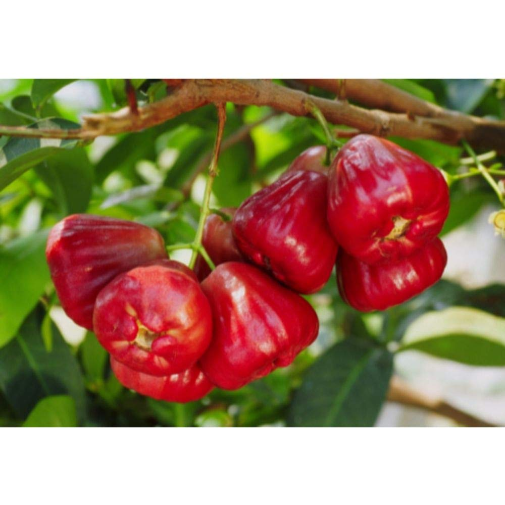 Wax Jambu/Wax Apple Tropical Fruit Trees 3-4 Feet Height in 3 Gallon Pot #BS1 by iniloplant (Image #1)