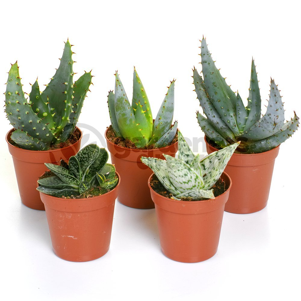 Aloe Vera Mix - 5 Plants - House / Office Live Indoor Pot Plant - Ideal Gift GardenersDream