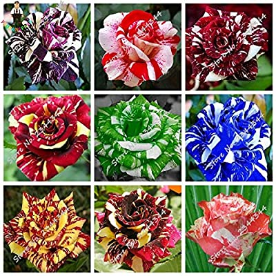 20 pcs/Bag Tiger Striped Rose Bonsai Exotic Rare Bonsai Rosa Flower Bonsai Indoor Beautiful Roses Flowers for Rooms - (Color: Mixed) : Garden & Outdoor