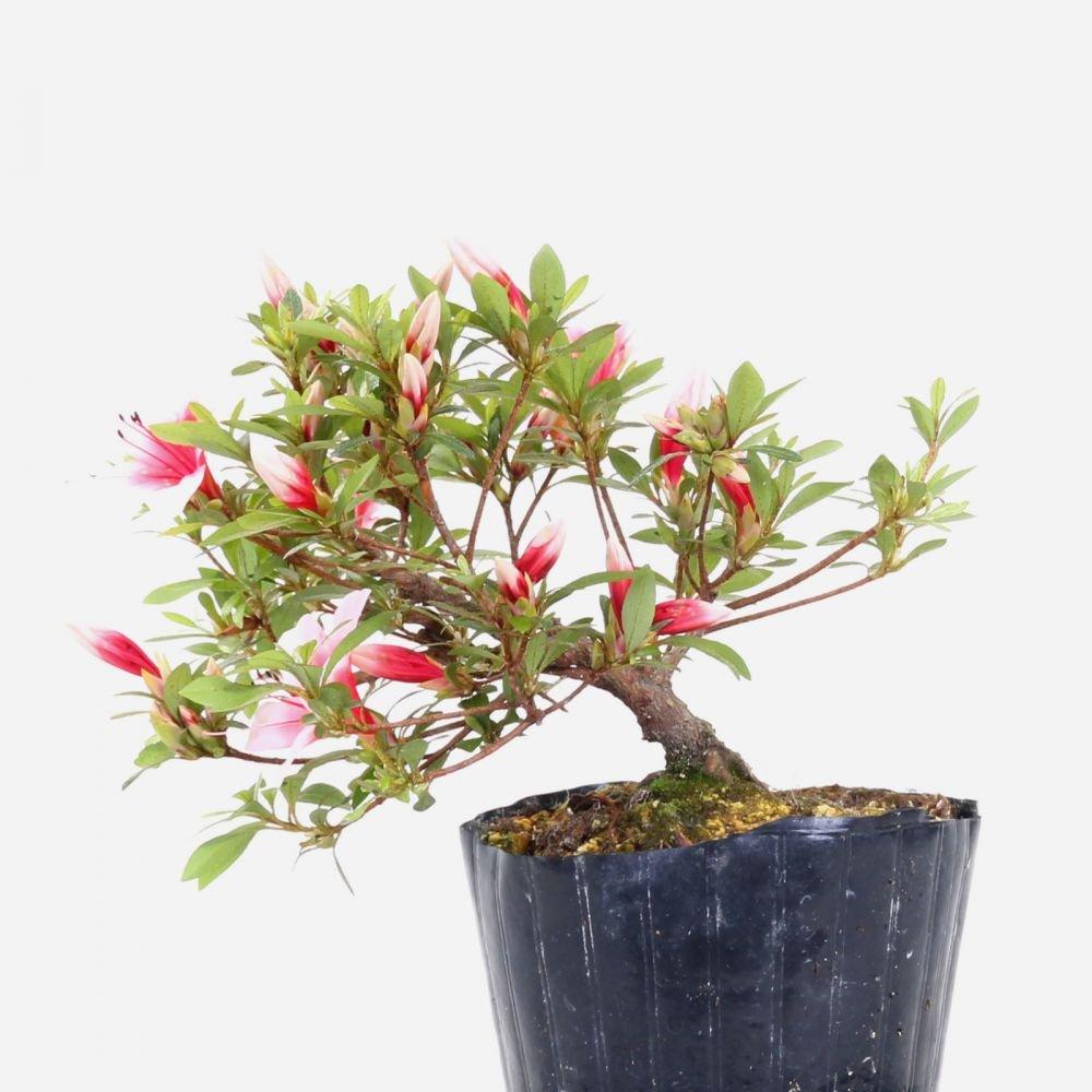 Bonsai - Jap. Satsuki Azalee 'Hi-no-Maru', Rhododendron indicum 183/40