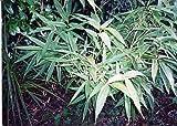 SASA KURILENSIS 'SHIMOFURI' - BAMBOO - PLANT