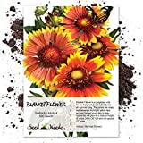 Seed Needs, Blanket Flower (Gaillardia aristata) 500 Seeds