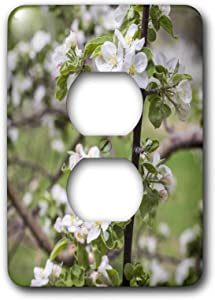 3dRose USA, Massachusetts, Bolton. Apple trees in bloom - Light Switch Covers (lsp_331555_6)