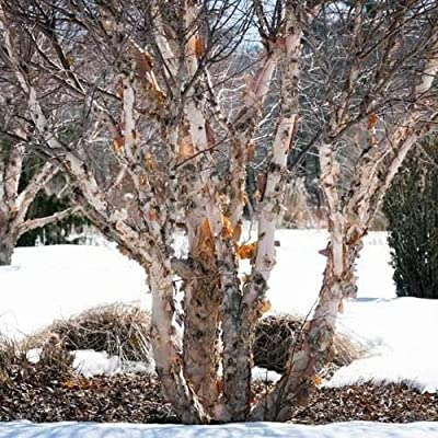 Cutdek Northern River Birch Tree Seeds (Betula nigra) 50+Seeds
