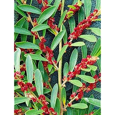 10 Blue Leaf ISU - (Evergreen Witch Hazel) Distylium myricoides : Garden & Outdoor