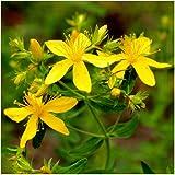 Johanniskraut - Hypericum perforatum - Zier-/Arzneiplanze - Sorte Topaz - 1000 Samen