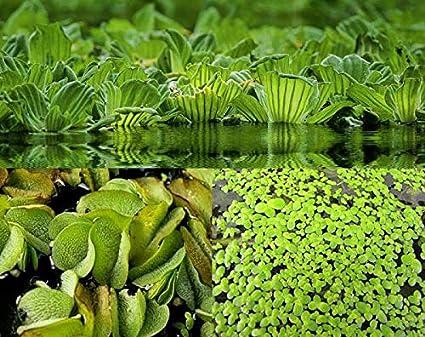 ALGEN Teichpflanzen Aquarium 3 XXL MUSCHELBLUMEN SCHWIMMPFLANZEN TEICH