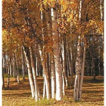 15 White Birch Seeds THE SHADE TREE WITH WHITE BARK