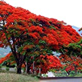 20 Seeds Delonix regia B6 Royal Poinciana Flamboyant Flame Tree Gulmohar
