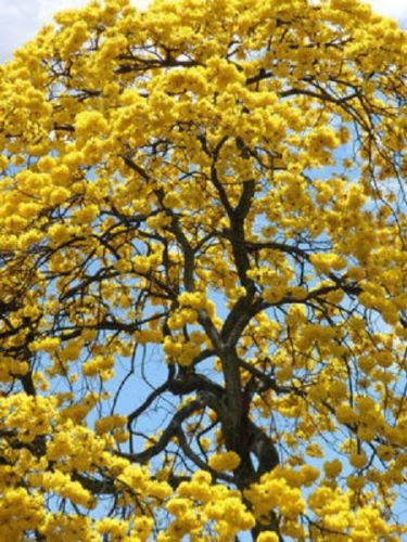 Amazon 100 Seeds Tabebuia Caraiba Yellow Trumpet Flowering