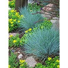 Ornamental Grass: BLUE FESCUE (Fesnea Ovina glauca) Perennial Seed *High Germination, Fresh Seed*