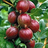 "Hinnonmaki Red Gooseberry Bush - Eat Fresh or Baked - 4"" Pot"