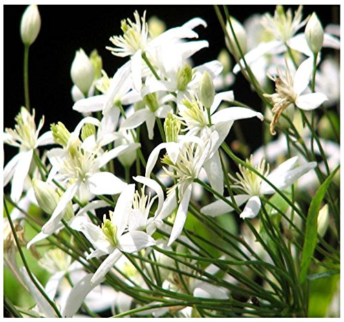 Amazon.com: 4 Paquetes X 10 Sweet Otoño Clematis semillas ...