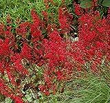 500 Heuchera Firefly Seeds, Heuchera sanguinea , Coral Bells PERENNIAL FLOWERS !