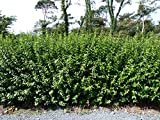 50 Green Privet Hedging Ligustrum Plants Hedge 2-3ft, 60-90cm,Quick Growing Evergreen 3fatpigs