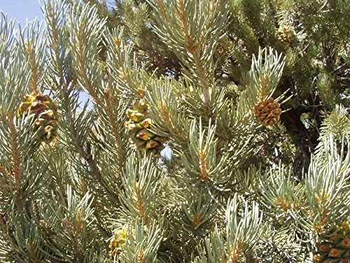 (Pinus cembroides monophylla Single Leaf PINYON Pine Tree)
