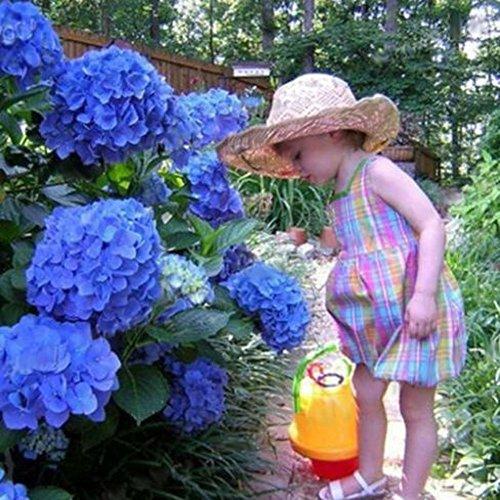 50pcs-garden-potted-blue-hydrangea-flower-seeds-flower-plant-rare-seeds