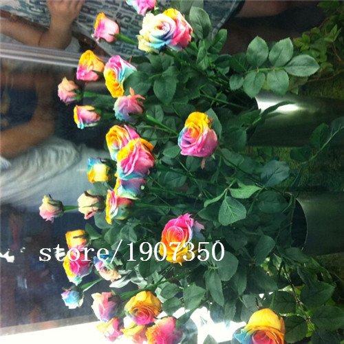 200 Abracadabra Rose seeds,rare color ,Osiria Rose gorgeous flower . the lover rose seed bonsai planting roses. (Abracadabra Rose)