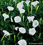 Datura, Moonflower, White Devil's Trumpet, Angel Trumpet, Unusual, Beautiful and Fragrant Bush. (25+ Seeds)