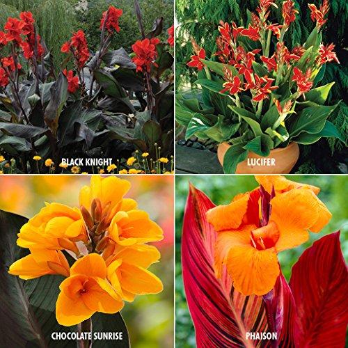 Van Zyverden 4 Varieties Cannas Collection Bulbs (Set of 24)