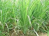 8 Plants - Organic Lemongrass - Cymbopogon citratus- Citronella - Excellent Herb