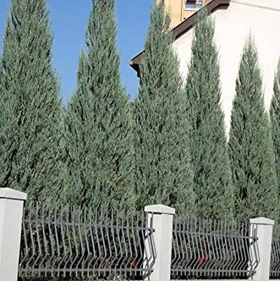 Skyrocket Juniper Qty 60 Live Plants Evergreen Privacy Tree Hedge