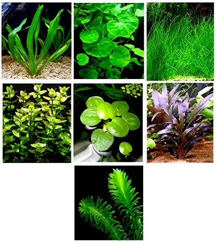 15 Live Aquarium Plants/7 Different Kinds - Amazon Sword, Dwarf Hairgrass and much more! Great plant sampler for 5-10 gal. tanks!
