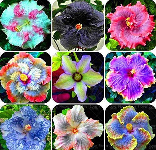 SOOGGI 100粒 混合色ハイビスカスの種 きれいに咲く 植物種子 花 有機 観葉植物 高い発芽率 簡単な栽培 ホームガーデンの装飾