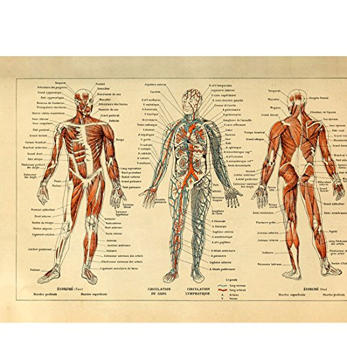 - Meishe Art Vintage Poster Print Human Anatomy Reference Illustration Chart Diagram Layout Blood-Vascular System Circulatory Muscular System Medical Skeleton Body Muscle Wall Decor